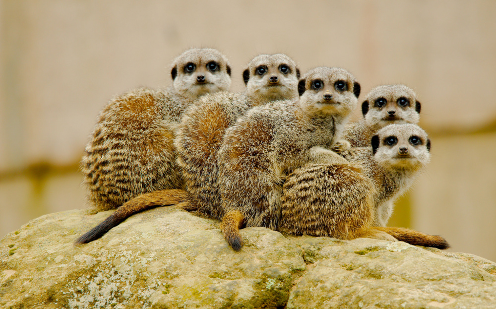 Picture of several meerkats