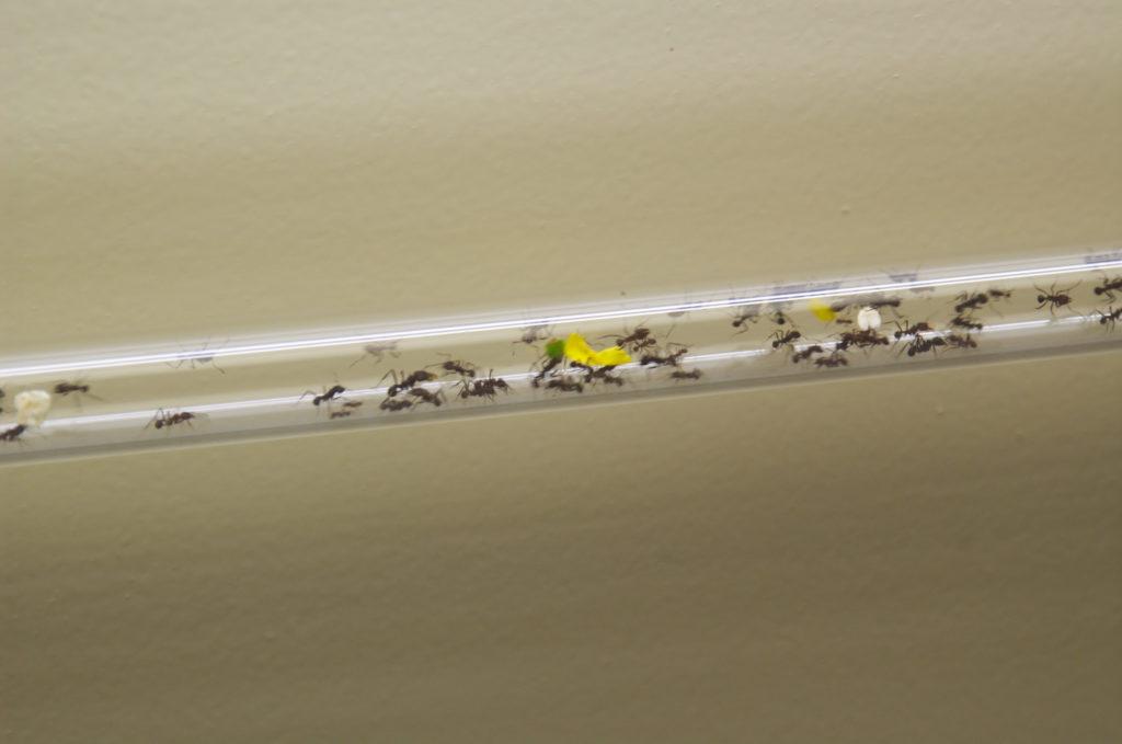 Ants inside a cristal pipeline
